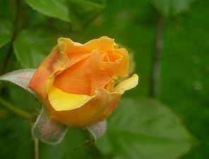 Rosa Amber Queen.jpg