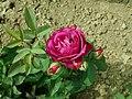 Rosa Heidi Klum Rose 2019-06-06 9220.jpg