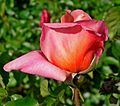 Rosa Mari Dot 2.jpg