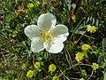 Rosa spinosissima inflorescence (25).jpg