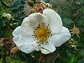 Rosa spinosissima inflorescence (84).jpg