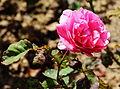 Rosaceae Teehybrid Rose Elbflorenz Zuechter Meiland 2006.JPG