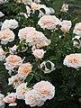 Rose, English Garden, バラ, イングリッシュ ガーデン, (13169588064).jpg