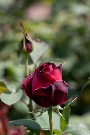 Rosa 'Oklahoma' - Image: Rose, Oklahoma Flickr nekonomania