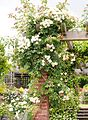 Rose, Treasure Trove, バラ, トレジャー トローヴ, (15235110764).jpg