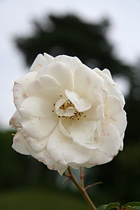 Rose Fee des Neiges Korbin 20070601.jpg