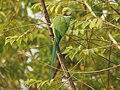 Rose ringed parakeet ( Psittacula krameri) മോതിര തത്ത , നാട്ടു തത്ത 5.jpg