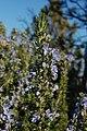 Rosmarinus officinalis5.jpg