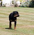 Rottweiler-dog.jpg