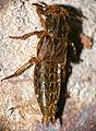 Rove Beetle (Staphylinidae) (16261241928).jpg