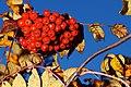 Rowan berries 002.jpg
