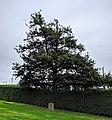 Royal Oak Tree, Surrey, back side.jpg