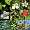 Rubus illecebrosus (Montage s2).jpg
