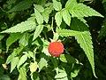 Rubus rosifolius1.JPG