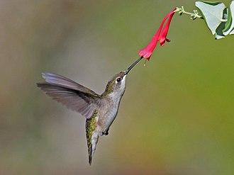 Lonicera sempervirens - Image: Ruby throated Hummingbird (Archilochus colubris) RWD4