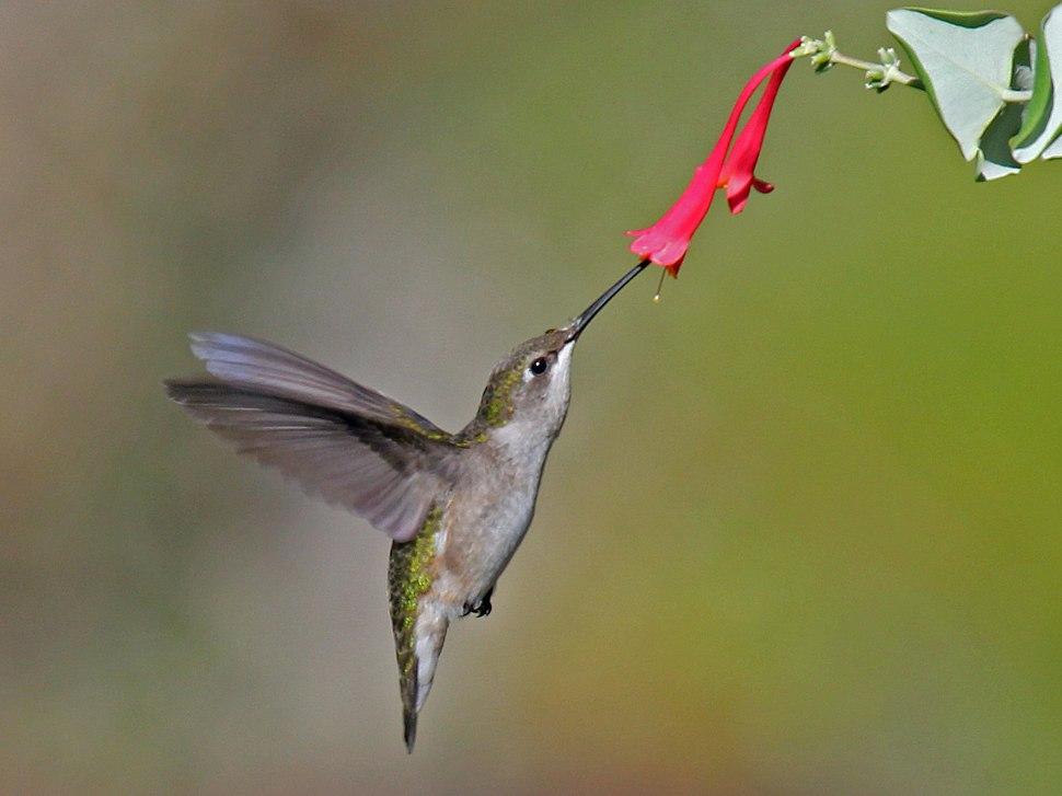 Ruby-throated Hummingbird (Archilochus colubris) RWD4
