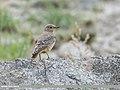 Rufous-tailed Rock-thrush (Monticola saxitilis) (49567684428).jpg