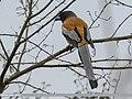 Rufous Treepie (Dendrocitta vagabunda) (33156717655).jpg