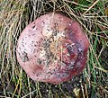 Russula sp - Flickr - gailhampshire (3).jpg