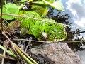 File:Rybník Březina, žába.ogv