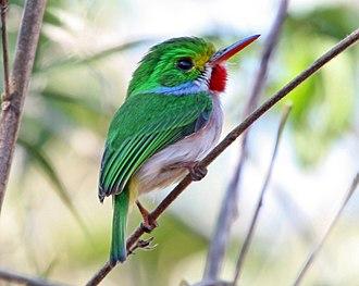 Tody - Cuban tody (Todus multicolor)