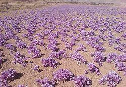 Saffron Field.JPG