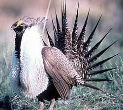 Sage Grouse in Grand Teton NP-NPS.jpg
