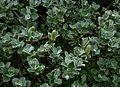 Salix lanata - Flickr - peganum (1).jpg