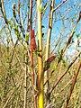 Salix purpurea 003.jpg