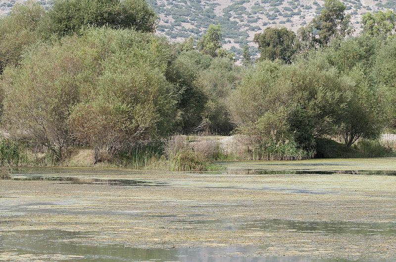 File:Salix sp - Söğüt ağacı 02.jpg