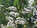 Salix tetrasperma - Indian Willow at Bavali (9).jpg