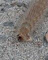 Salt Marsh Moth (Estigmene acrea) Larva - Saskatoon, Saskatchewan 2014-08-11 (01).jpg
