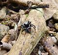 Salticidae - Flickr - gailhampshire (4).jpg