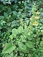 Salvia-glutinosa(Ganzansicht).jpg