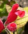 Salvia pulchella 3.jpg