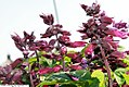 Salvia splendens Vista Purple 1zz.jpg