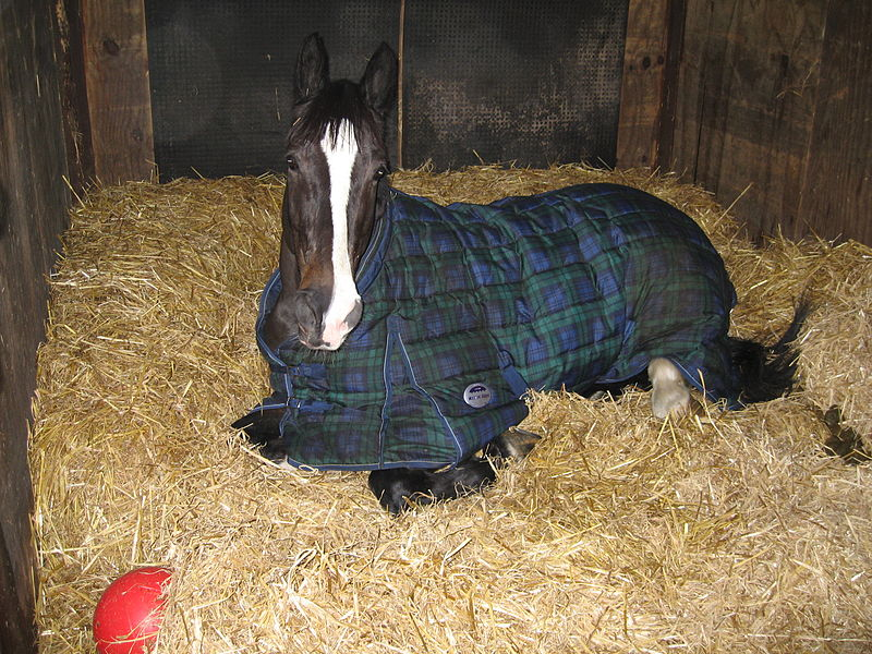 File:Sam the horse rests in his blanket.jpg