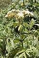 Sambucus africana mtkenya 02.jpg