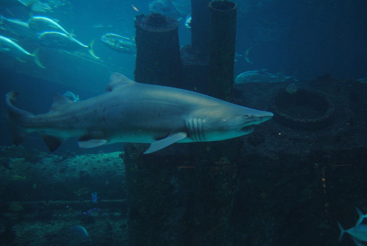 Sand tiger shark information amp pictures of sand tiger sharks - Sand Tiger Shark Wallpaper Photo 25