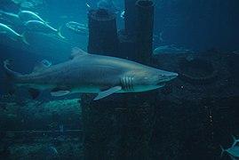 Sand tiger shark near German U-boat.jpg