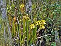 Sarraceniaceae - Sarracenia minor.jpg