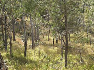 Mount Archer National Park - Eucalypt woodland, Mount Archer National Park