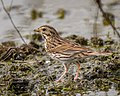Savannah Sparrow (39813763765).jpg