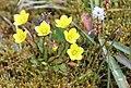 Saxifraga hirculus IMG 6959 myrsildre longyearbyen.JPG