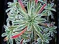 Saxifraga paniculata 'Carniolica'.jpg