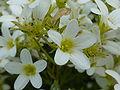 Saxifraga trifurcata 'Schrad.' (Saxifragaceae) flower.JPG