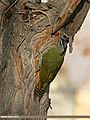 Scaly-bellied Woodpecker (Picus squamatus) (23695023363).jpg