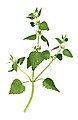 Scanograph of Lamium moschatum.jpg
