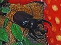 Scarabaeidae - Chalcosoma caucasus.JPG
