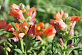 Scarlet globemallow (Spharalcea coccinea) on Mixed Grass Prairie of Lacreek NWR (13941359725).jpg